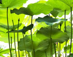 Nelumbo Nucifera Photograph - Lotus Leaves by Tim Gainey Lotus Flower Pictures, Lotus Flower Art, Flower Images, Trees To Plant, Plant Leaves, Train Illustration, Nelumbo Nucifera, Lotus Plant, Lotus Leaves