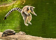 Lemur and turtle