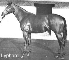 Lyphard. Thoroughbred