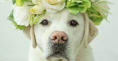 Black Labrador Labrador Retriever with Flower Crown - Diane Diederich/E /Getty Images Cute Puppies, Cute Dogs, Dogs And Puppies, Doggies, Labrador Puppies, Golden Retriever Mix, Golden Retrievers, Large Dog Breeds, Large Dogs