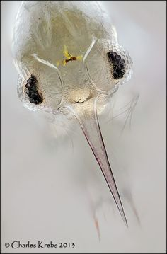 www.photomacrography.net :: View topic - Some zooplankton and a stereo diatom