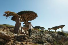 Seijun Nishihata stands next to a dragon blood tree in the Socotra Islands in Yemen in February 2011.   | TOSHIAKI MIYAMOTO