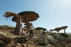 Seijun Nishihata stands next to a dragon blood tree in the Socotra Islands in Yemen in February 2011.   | TOSHIAKI MIYAMOTO