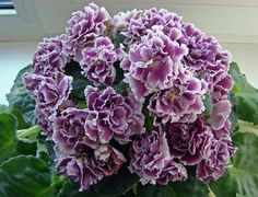 OMG what a gorgeous African Violet https://www.houseplant411.com/houseplant/african-violet-grow-care