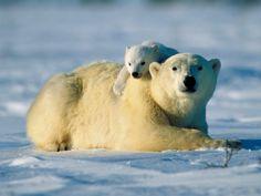 White Polar Bears Family on Snow