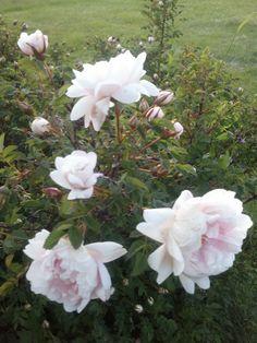 Juhannusmorsian ruusuräs risteytyksen tuloksena syntynyt perinneruusu on Juhannusmorsian, joka pukeutuu juhla-asuunsa juhan- nusmorsiamien aikaan. Voimakkaasti tuoksuvat hem- peän vaaleanpunaiset kukat aukeavat täysin, terälehtien reunat kääntyvät taaksepäin. Nuppu ja nuori kukka ovat vaaleanpunaiset, teriön keskusta on keltainen. Vanhassa kukassa teriön punainen alue haalistuu lähes valkeaksi. Kotoisin Asikkalan Kurhilan kylästä