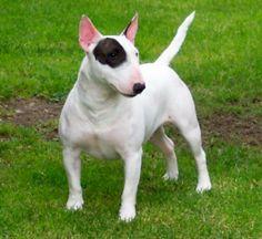 Resultados de la Búsqueda de imágenes de Google de http://3.bp.blogspot.com/-vS-MD1SWq0Y/ToQ0PujKnDI/AAAAAAAAAdo/WU1mB6FnLKA/s1600/Bull-Terrier-21.jpg