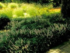 This evergreen groundcover can be planted in full sun to full shade.   Clump forming, evergreen ground cover with grass-like foliage and lavender flowers in summer  Plant in rich organic soil that is well-drained  Plant in full sun to full shade  Prune back tattered foliage in late winter; divide in spring if needed  Height: 12-18 inches/ Width: 1-2 feet  Hardy in USDA zones (5) 6-10:  Zone 5: Plant in spring; plant in full sun to partial shade; avoid exposure to salt; mulch heavily after…