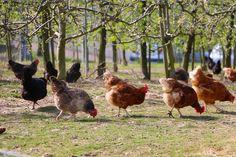 Hühner selber im Garten halten