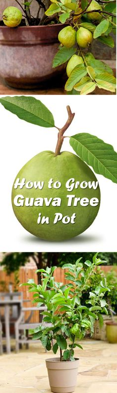 Guava tree care and growing is easy. With the information given in this article you can understand how to grow guava tree in a pot. It will delight you with its sweetly scented flowers, delicious fruits and beautiful tropical appearance. Potted Fruit Trees, Growing Fruit Trees, Growing Plants, Growing Vegetables, Trees To Plant, Guava Plant, Guava Fruit, Fruit Garden, Edible Garden