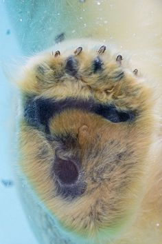 The paw of a polar bear. Reminds me of my daughter's little hand against the big polar bear paw at the zoo. Polar Bear Paw, Polar Bears Live, Bear Paws, Bear Footprint, Baby Otters, Love Bear, Whippet, Beautiful Creatures, Animal Photography
