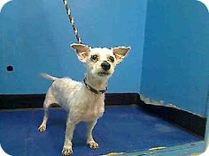 URGENT: High Kill Shelter ACC New York, NY - Poodle (Toy or Tea Cup) Mix. Meet ZOEY a Dog for Adoption. Female.