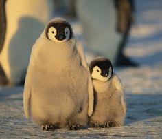 "2,430 Likes, 22 Comments - @oceana on Instagram: ""Everybody needs someone to lean on. #SeaBirdSaturday : Shutterstock #penguins #babyanimals #oceans"""
