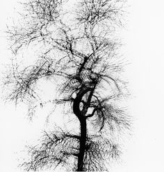 Harry Callahan: Multiple Exposure Tree, Chicago, 1956.
