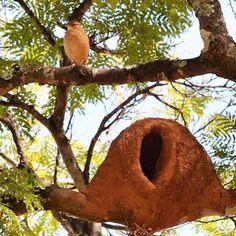 João-de-barro (Furnarius rufus) e sua casa. Ele é um excelente arquiteto. A ave canta em dueto (macho e fêmea juntos, cada qual de um modo um pouco diferente), nos arredores do ninho, em postura altiva e tremulando as asas, com um canto extremamente estridente. Seu canto parece uma gargalhada, e dizem quando ele canta, é sinal de bom tempo.   http://www.portalanaroca.com.br/a-pureza-de-coracao-e-inseparavel-da-simplicidade-e-da-humildade/