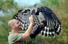 """Luigi,"" the Harpy Eagle and his handler, Scott."