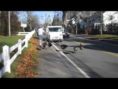 Mailman Fights Off Turkeys While Trying To Deliver Mail - http://modernfarmer.com/2016/11/mailman-fights-off-turkeys-trying-deliver-mail/?utm_source=PN&utm_medium=Pinterest&utm_campaign=SNAP%2Bfrom%2BModern+Farmer