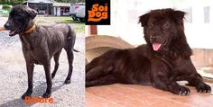 My name is Dewar II. Please ADOPT ME! E-mail alex@soidog.org to adopt me. I am nearly 5 years old and I have been a resident of Soi Dog, Phuket, Thailand for nearly a year now.  Will you offer me the chance of true happiness that I believe I deserve? Now I am recovering well, I hope I get to enjoy the rest of my life in a proper home. I can only hope I do not get forgotten about in here. Please e-mail alex@soidog.org to find out how to make this happen…