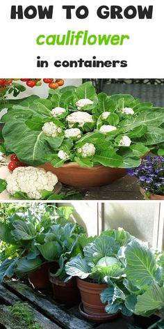 Growing Cauliflower in Containers In this article you will learn how to grow cauliflower in containers. Growing cauliflower in containers … Hydroponic Gardening, Organic Gardening, Gardening Tips, Urban Gardening, Indoor Vegetable Gardening, Gardening Services, Gardening Books, Container Gardening Vegetables, Container Plants