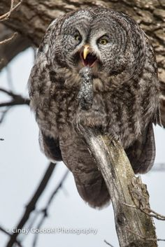 Great Grey Owl Ejecting a Pellet