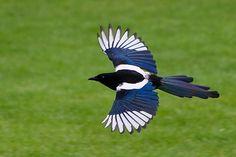Favorite bird, magpie