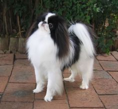 I love my princess Akina! ♡ she is literally the best dog on the planet. Cute Puppies, Cute Dogs, Dogs And Puppies, Chinese Dog, Japanese Chin, Companion Dog, Puppy Pictures, Dog Names, Little Dogs