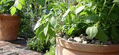 Potato plant growing in a terracotta pot in a sunny spot