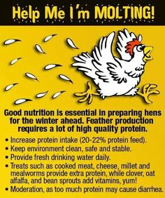 Molting - Why adding mealworms to your chicken's diets is important, especially during molts Chicken Life, Chicken Feed, Chicken Runs, Chicken Coops, Chicken Houses, City Chicken, Chicken Facts, Chicken Barn, Chicken Treats