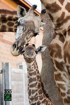 Baby Giraffe and Mom - Houston Zoo