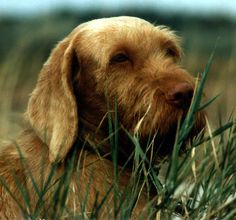 Hairy Vizsla Puppy - This is a Wire Haired Vizsla