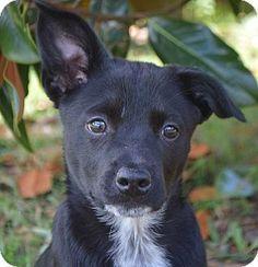 Glenburn, ME - Labrador Retriever/Redbone Coonhound Mix. Meet Nadia, a puppy for adoption. http://www.adoptapet.com/pet/12879578-glenburn-maine-labrador-retriever-mix