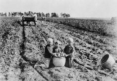 Children gathering potatoes in Prince Edward Island. How times have changed! Children gathering potatoes in PEI, 1921.| PEI Potatoes | It's in Our Nature