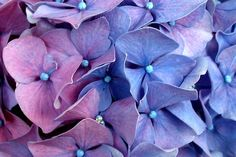 Shades of hydrangea bloom  #flower #bush