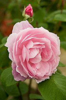 Rose Mortimer Sackler  | Alan Buckingham via flickr