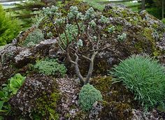Salix x boydii, ива Бойда