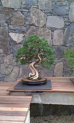 Japanese juniper bonsai. I love bonsai trees. Please check out my website Thanks. www.photopix.co.nz