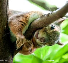 Adorable Squirrel Peek-A-Booing. Squirrel Pictures, Funny Animal Pictures, Cute Baby Animals, Animals And Pets, Wild Animals, American Red Squirrel, Tree Rat, Cute Squirrel, Squirrels