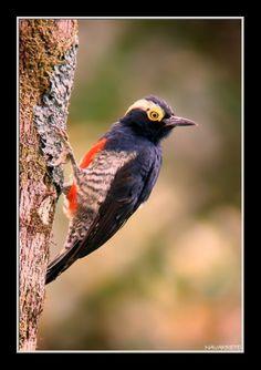 Pica-Pau-de-Tufo-Amarelo ou Pica-Pau-Benedito-de-Testa-Vermelha ou ainda Pica-Pau-de-Barriga-Vermelha ( Melanerpes cruentatus ) ( Macho ) - Brasil ( Amazonia ) e Bolivia, Peru.