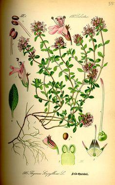 Thýmus.  Illustration from the book of Otto   Wilhelm Thomé, «Flora von Deutschland, Österreich und der Schweiz», 1885