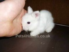 Mini Lionhead rabbit