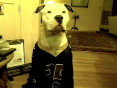 """Kobe, my American Bull Dog rocking the Saints Black and Gold. Holla at your boy. Look us up at Kobe Woof Productions, YouTube Ya'll and hit dat, know dat, Saints is that and all dat. Yup Yup Doggie Style Babe. My dog and I have been faithful fans, being a native of New Orleans, and Creole, I have been a Saints fan when others turned their backs on them in conquest to the """"aints"""" and never lost hope for the team that could, still here loving strong and now I have my dog with me, who's loving…"""
