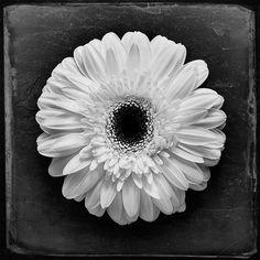 White flower photograph on black background - floral motif - black and white fine art photography - home decor - vintage - square format. $20.00, via Etsy.