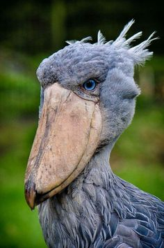 Totem animals, totem, animal,  totem, The Shoebill