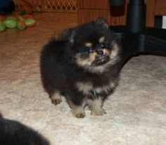 Black, tan and silver Pomeranian puppy -- adorable