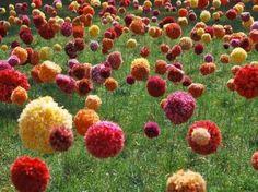 campo de pompons