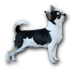 Small hobby breeder of AKC Chihuahuas, bred for good health, temperament, and show quality. Chihuahua Breeders, Cute Chihuahua, Puppies, Chihuahuas, Small Dogs, Destiny, Boston Terrier, Life Is Good, Cute Animals