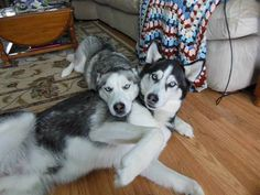 Siberian Huskies just chilling together
