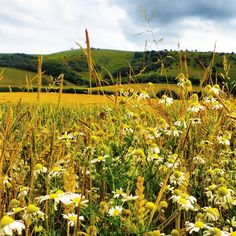 Wild daisies in front of the beautiful South Downs in Summer..
