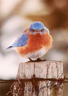 Mad Bluebird, My daughter-in-law bought me one of these cute little birds back in 1994, on of my favorite pictures