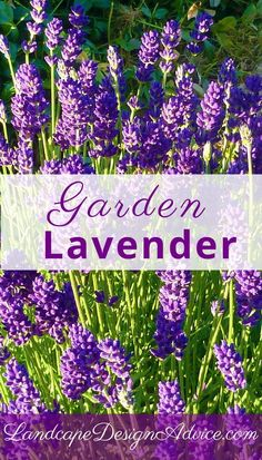 Lavender looks nice alone, but particularly with roses. You don't have to do much to it as it will do well during droughts. Its fragrant flowers are nice to have in the garden, and you can cut them and bring them inside. Many people dry them and use them in sachets.